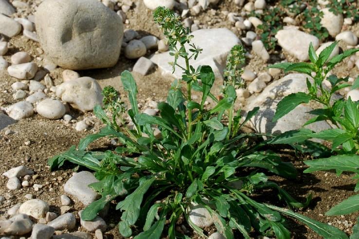 Reseda phyteuma subsp. phyteuma 7