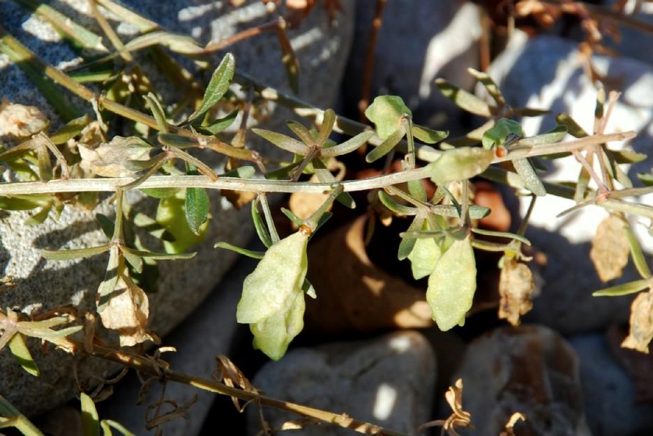 Reseda phyteuma subsp. phyteuma 8