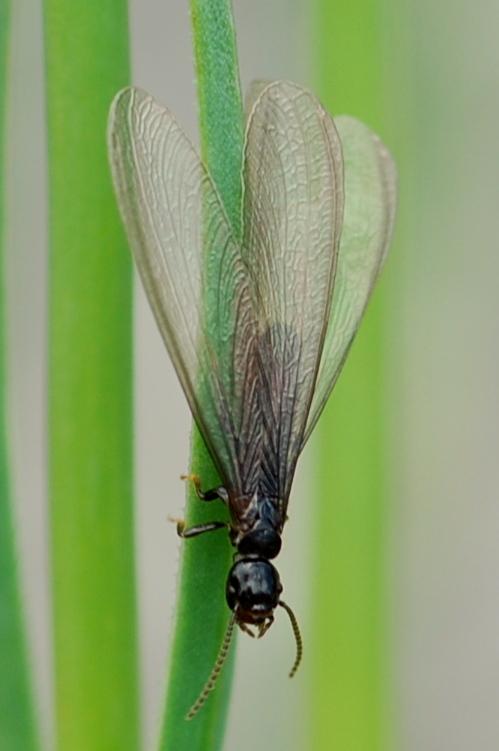 Reticulitermes lucifugus - Rhinotermitidae