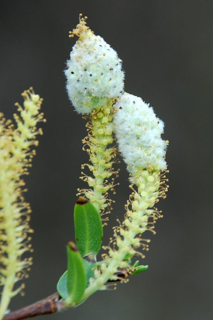 Rhabdophaga heterobia - Diptera, Cecidomyiidae (Salix triandra)