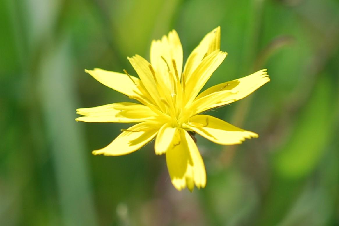 Rhagadiolus stellatus 19