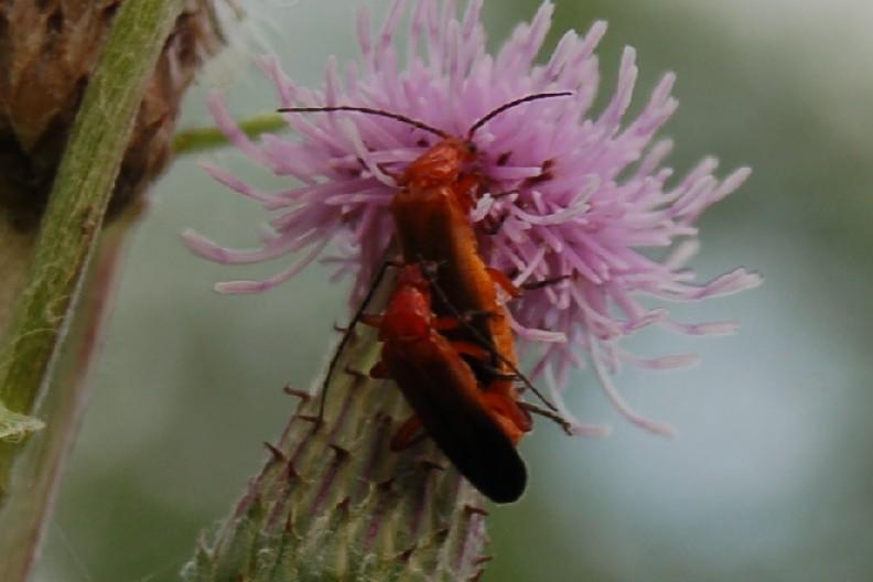 Rhagonycha fulva - Cantharidae