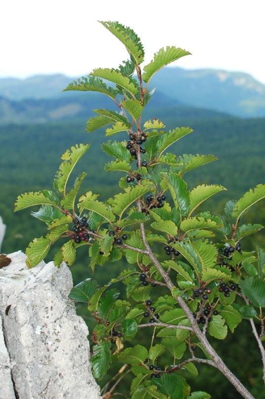 Rhamnus alpina subsp. alpina