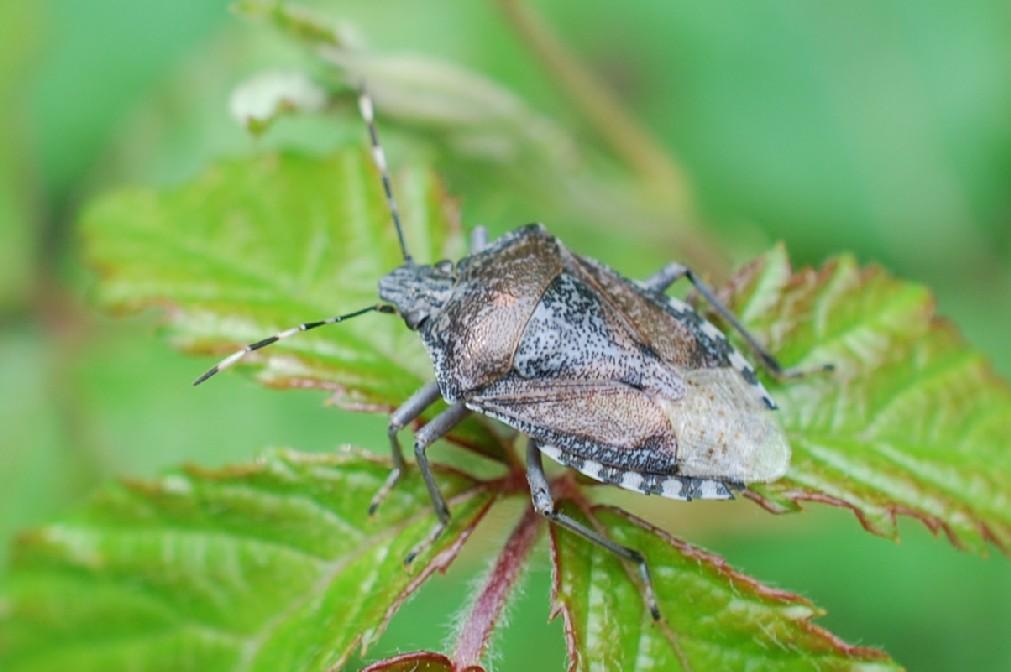 Rhaphigaster nebulosa - Pentatomidae