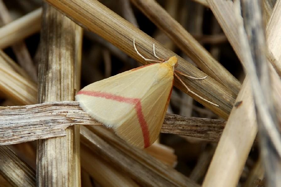 Rhodometra sacraria - Geometridae
