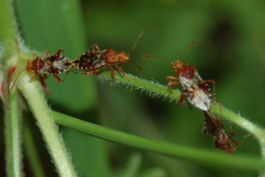 Rhopalus subrufus - Rhopalidae