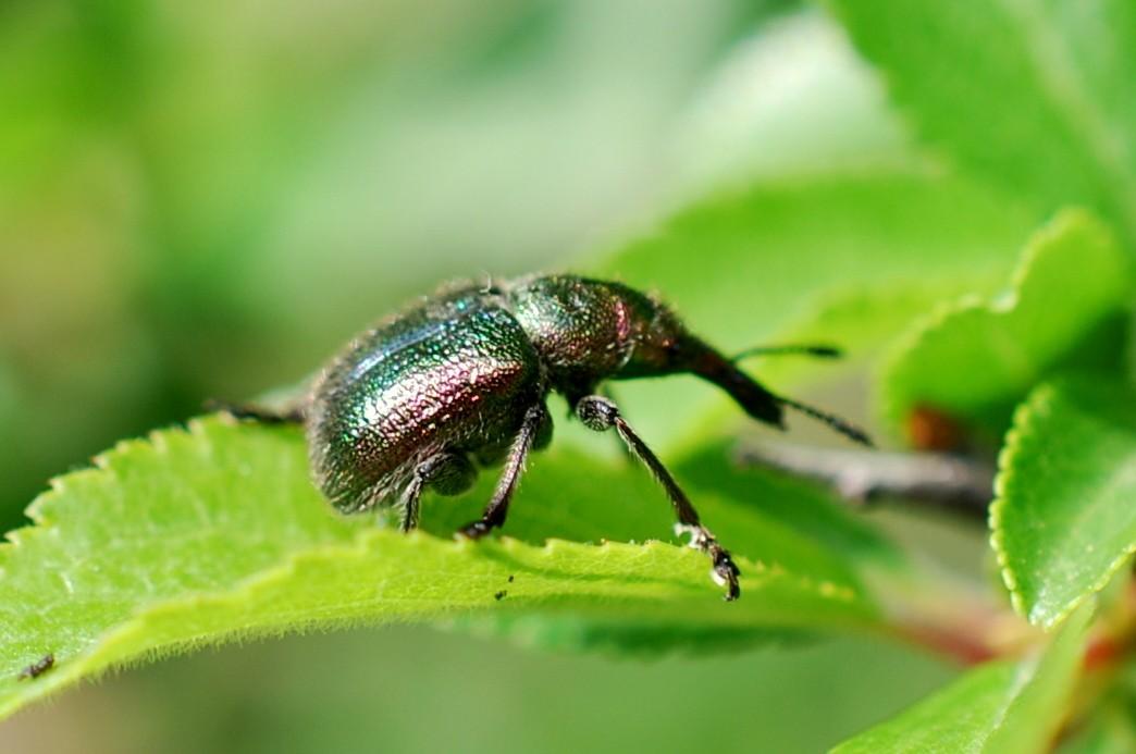 Rhynchites auratus - Rhynchitidae