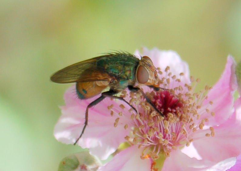 Rhyncomya sp. - Calliphoridae
