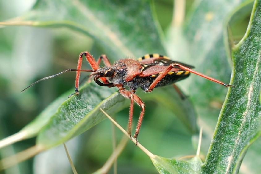 Rhynocoris erytropus - Reduviidae