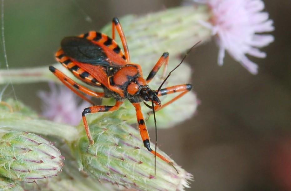 Rhynocoris iracundus - Reduviidae