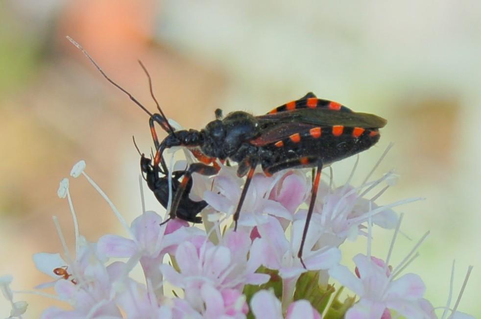 Rhynocoris sp. - Reduviidae