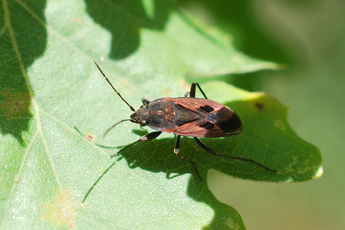 Rhyparochromus phoeniceus - Lygaeidae