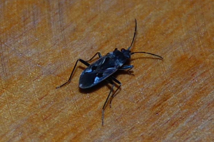 Rhyparochromus vulgaris - Lygaeidae