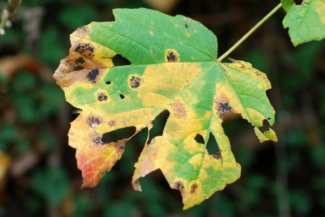Rhytisma acerinum - Rhytismatales - Rhytismataceae 3