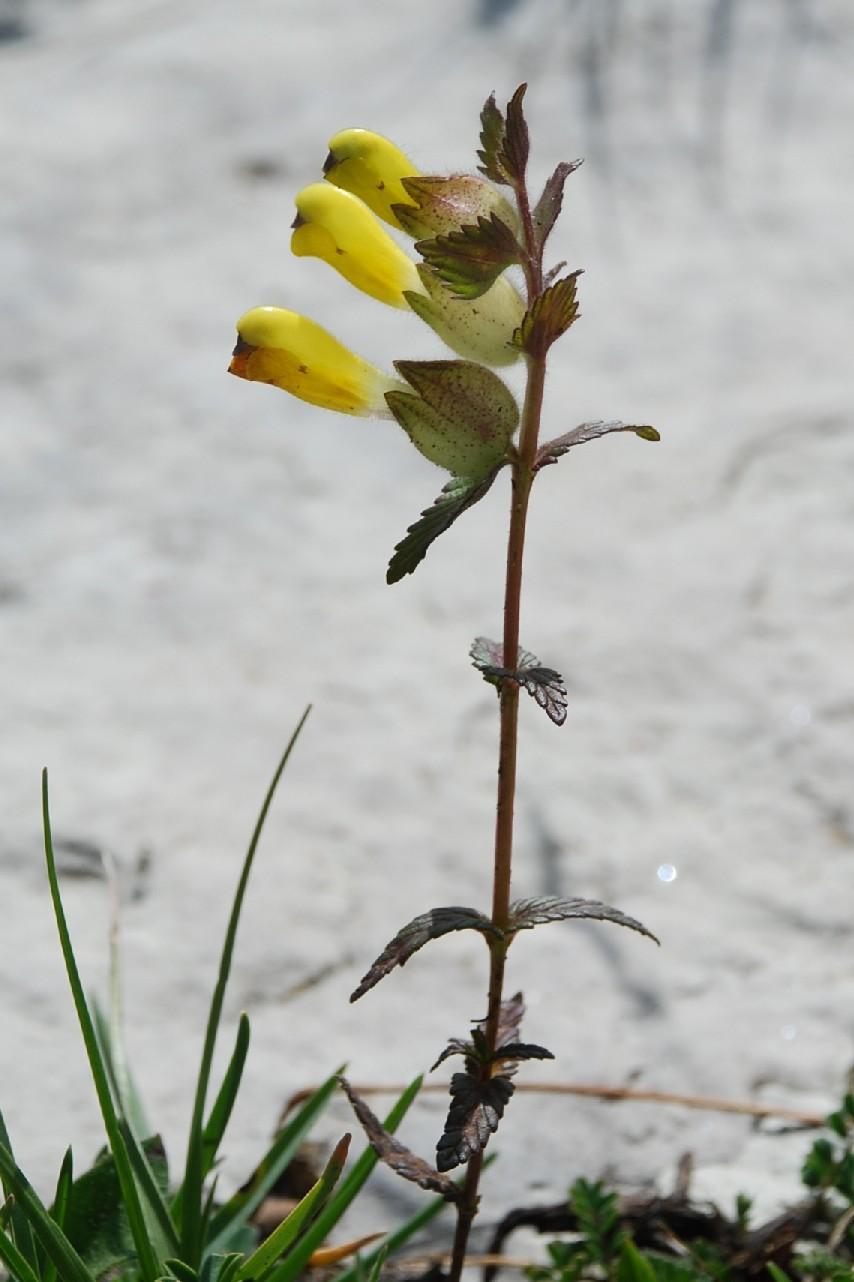 Rinanthus alectorolophus subsp. alectorolophus