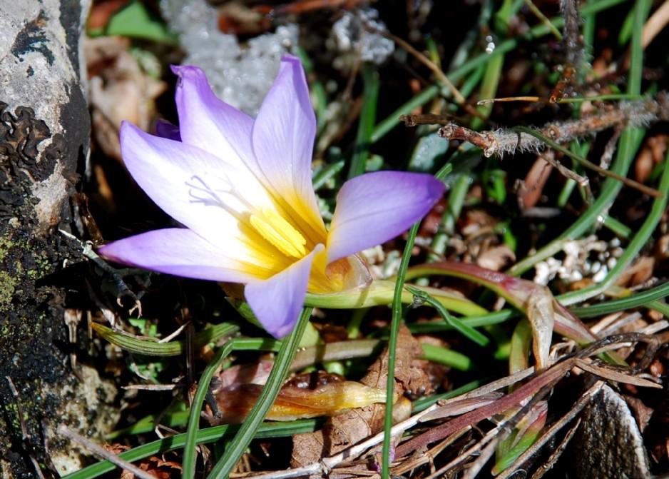Romulea bulbocodium