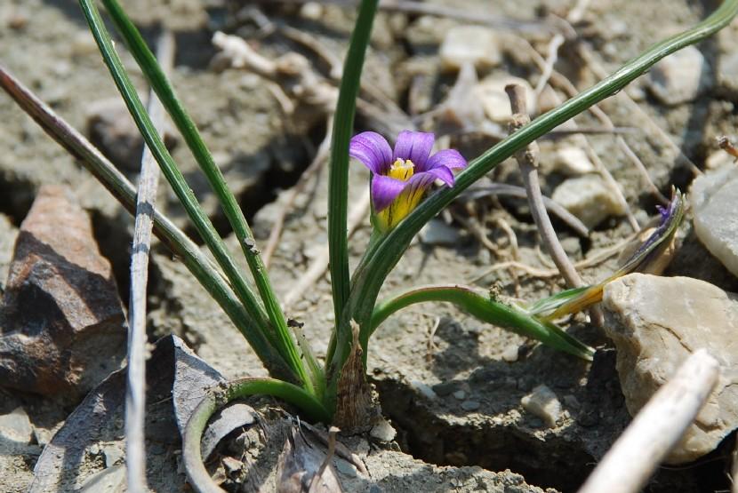 Romulea ramiflora subsp. ramiflora 6