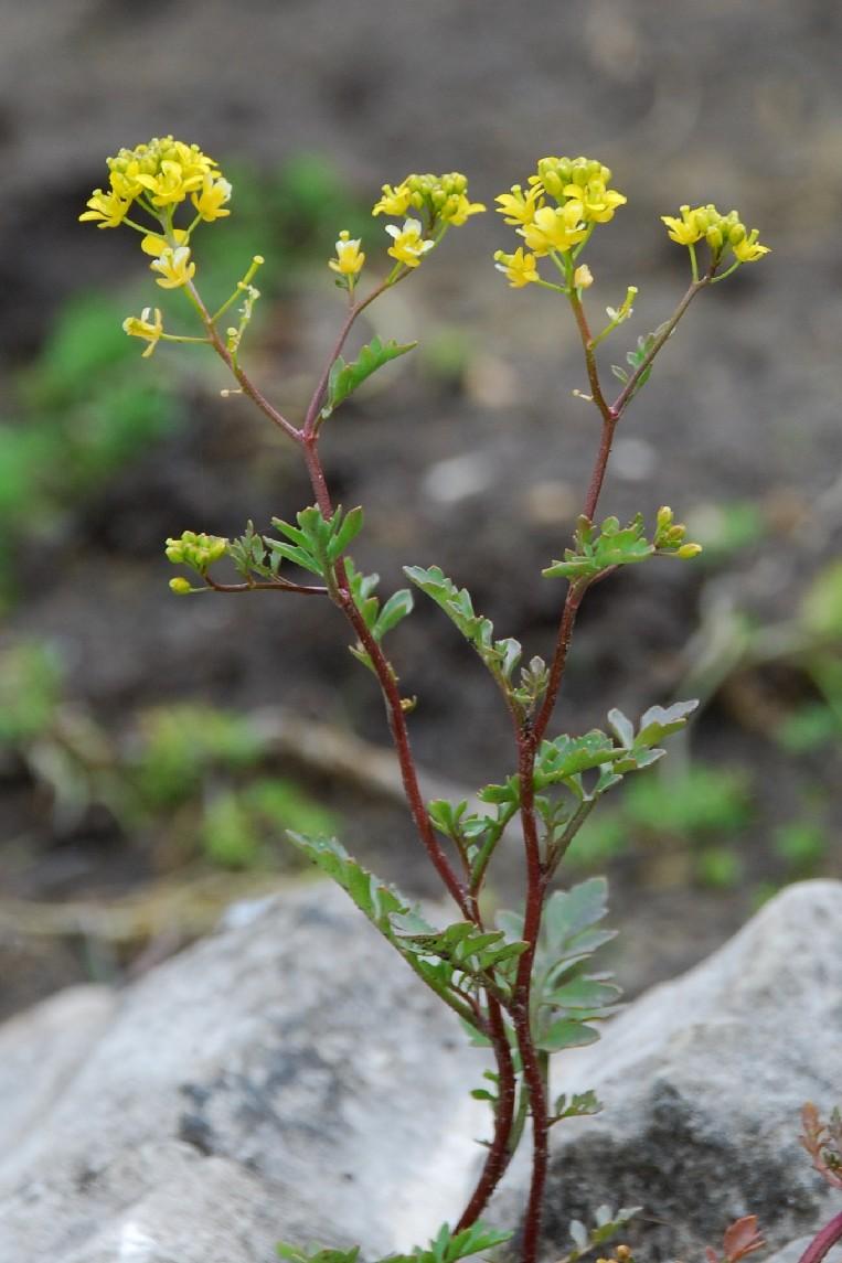 Rorippa sylvetris subsp. sylvestris