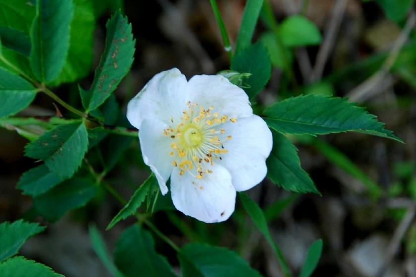 Rosa arvensis 1