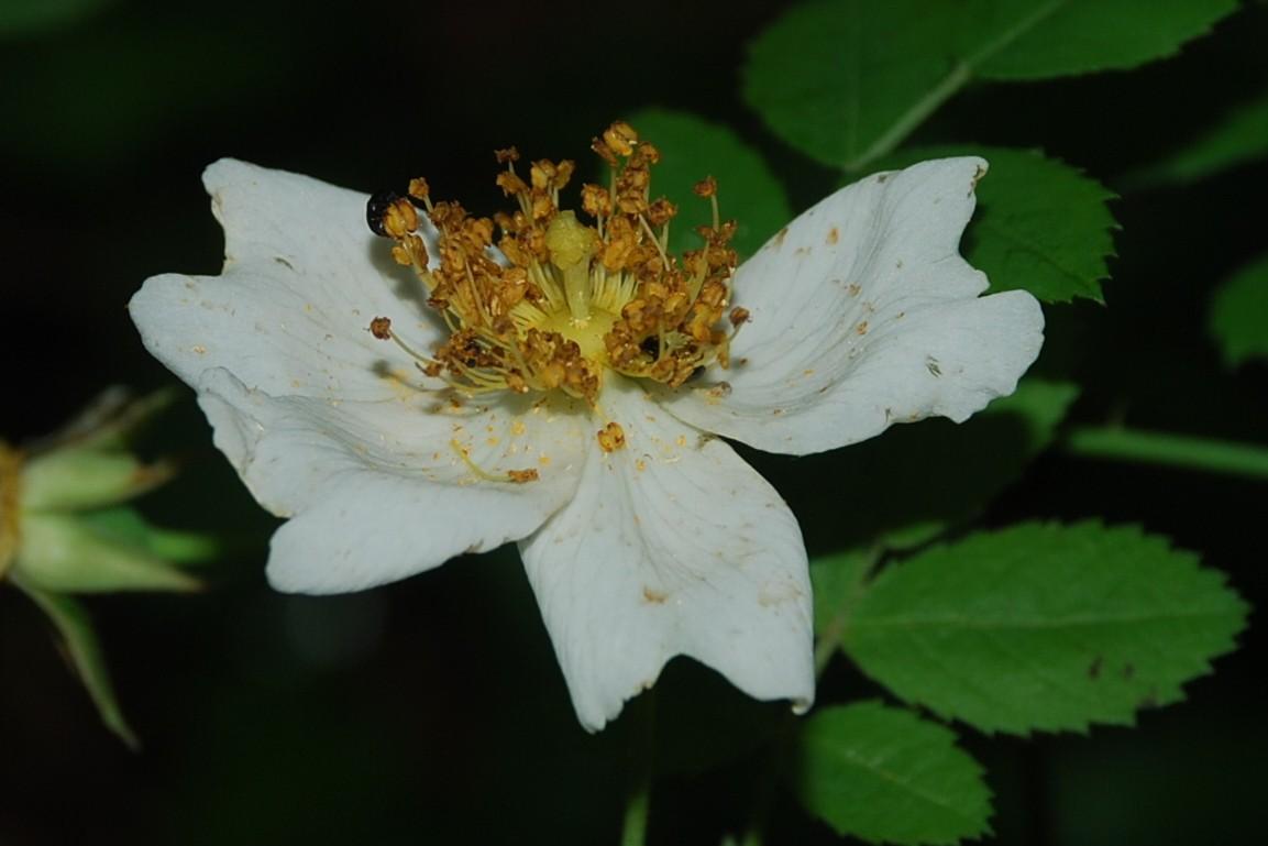 Rosa arvensis 13