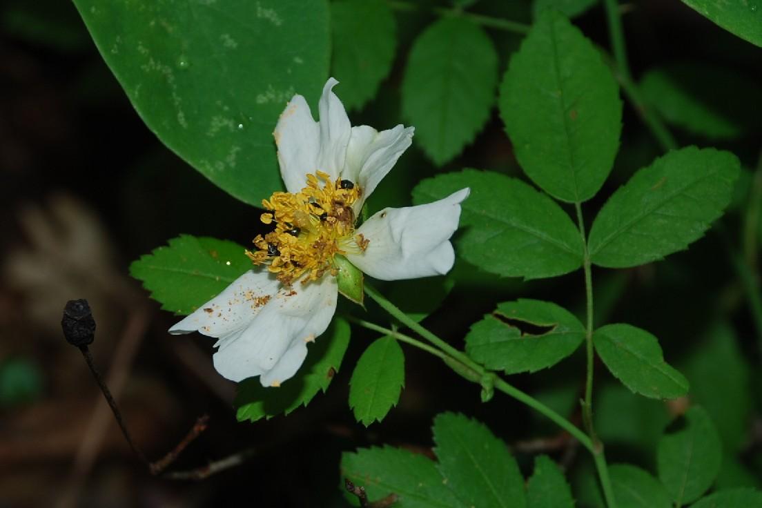 Rosa arvensis 14