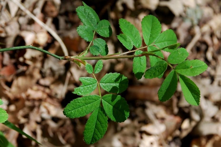 Rosa arvensis 4