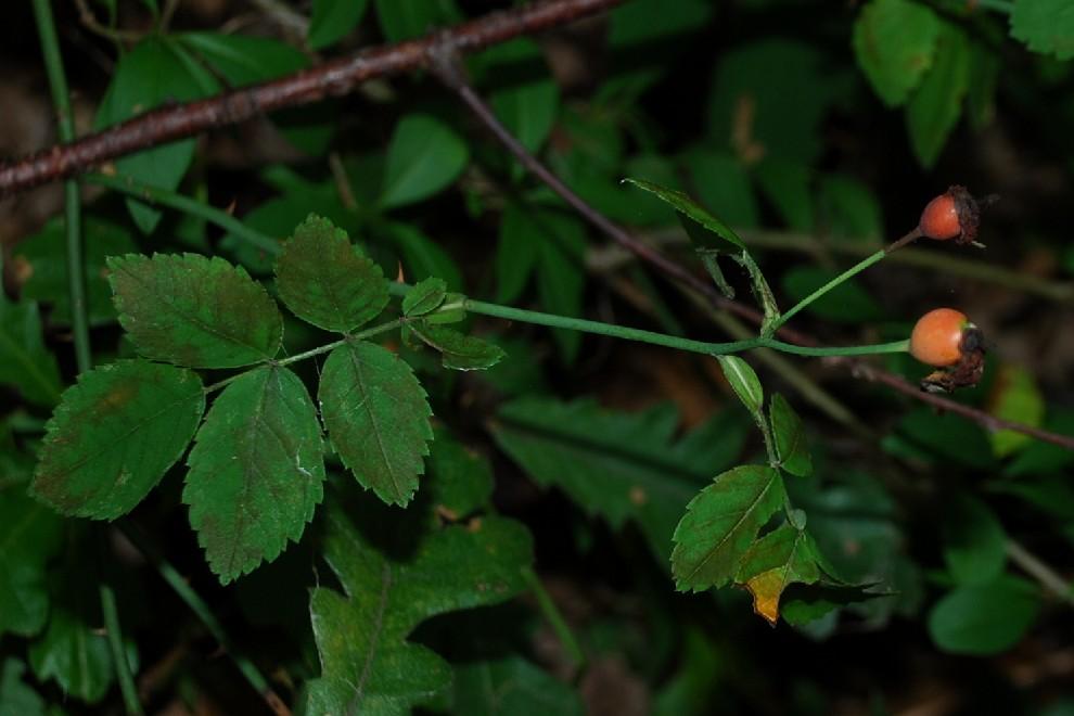 Rosa arvensis 5