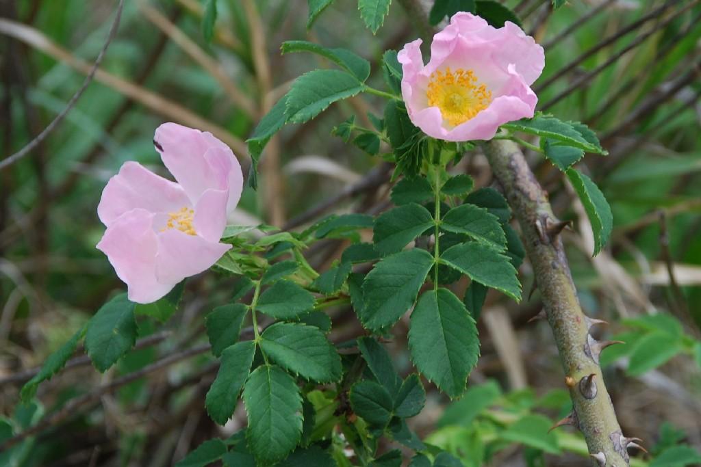 Rosa canina 6