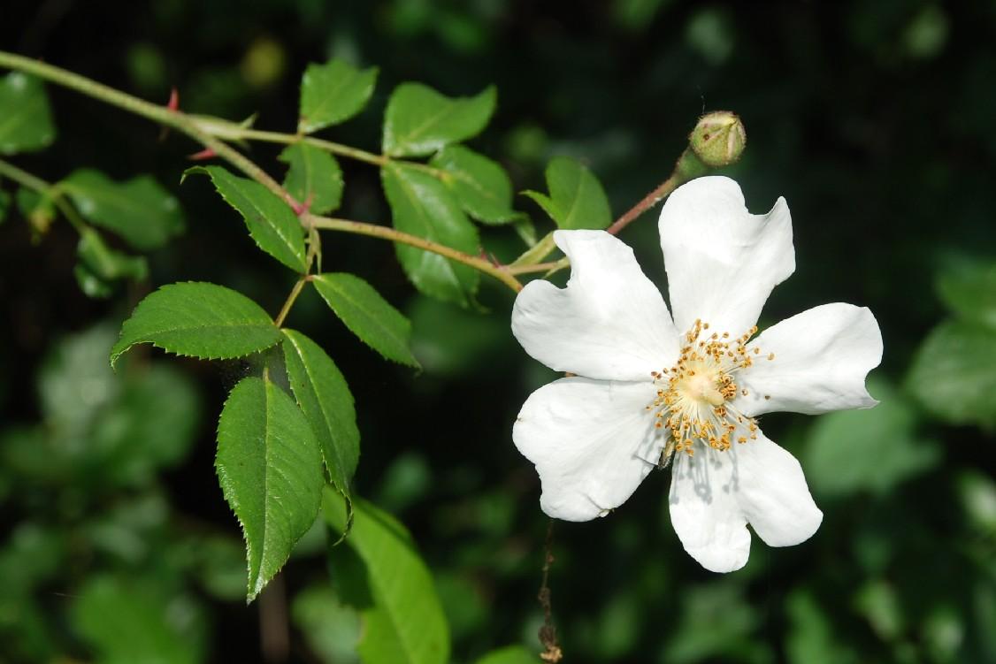 Rosa sempervirens 18