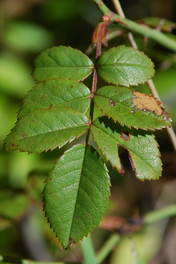 Rosa sempervirens 5