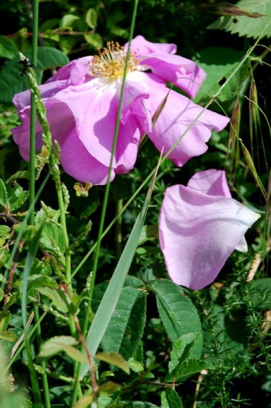 Rosa sp. 2