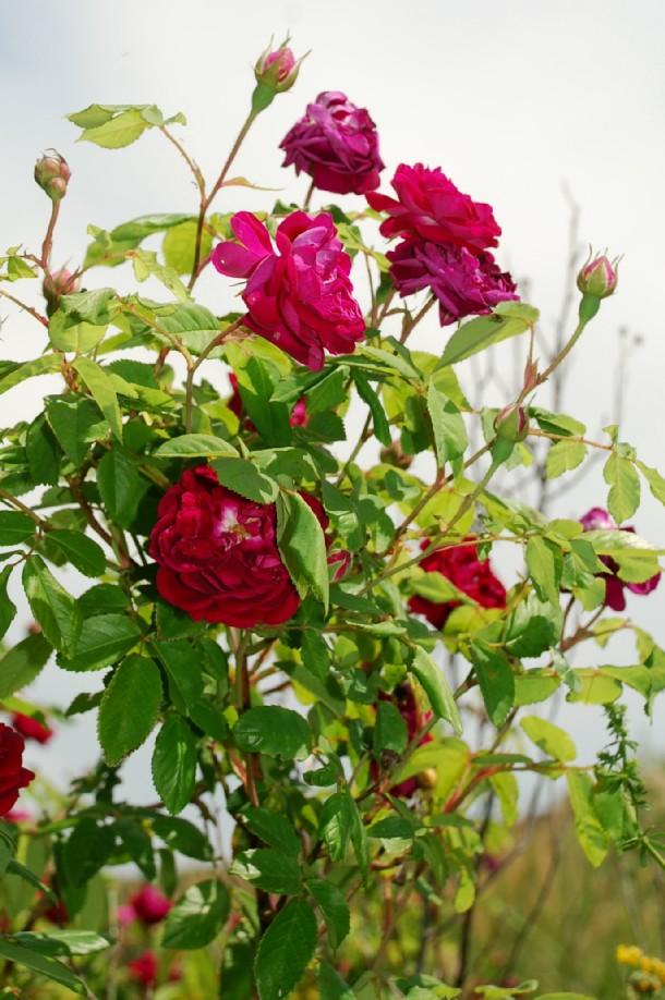 Rosa sp. 5