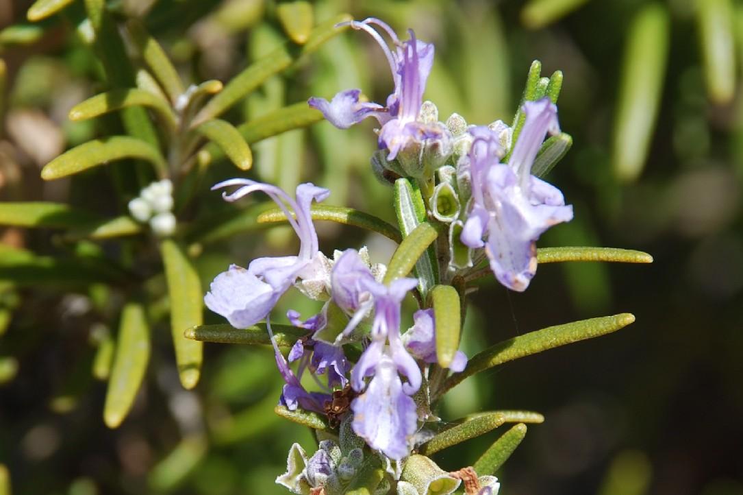 Rosmarinus officinalis 10
