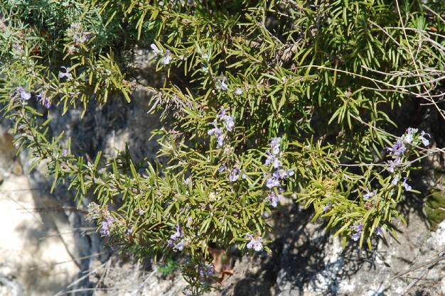 Rosmarinus officinalis 11