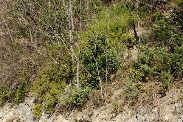 Rosmarinus officinalis 14