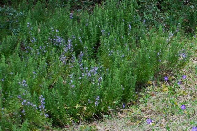 Rosmarinus officinalis 15
