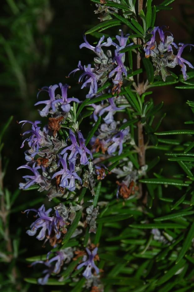 Rosmarinus officinalis 16