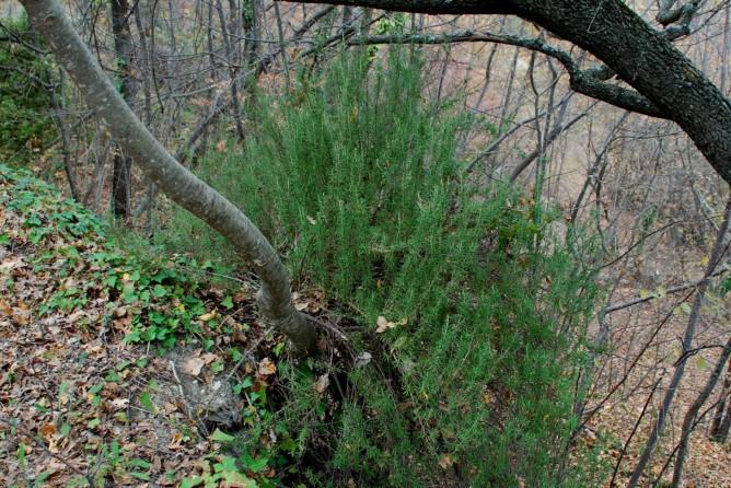 Rosmarinus officinalis 2