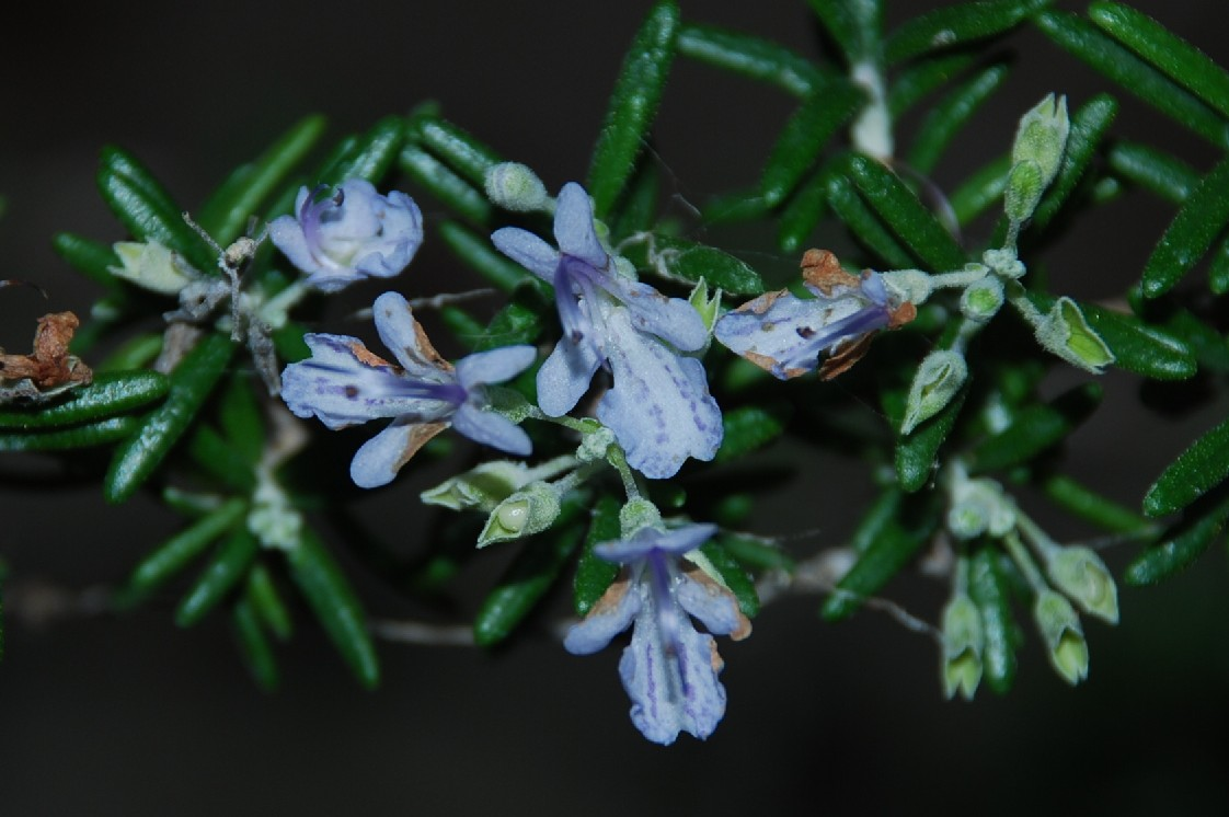 Rosmarinus officinalis 7