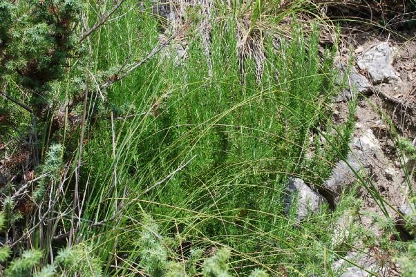 Rosmarinus officinalis 8