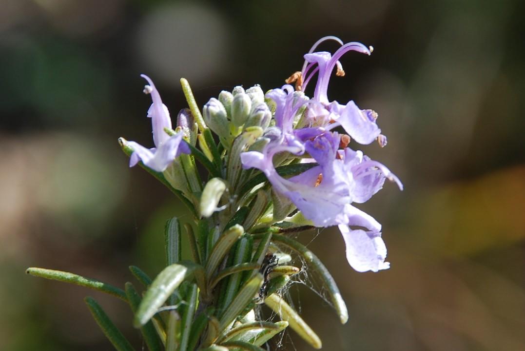 Rosmarinus officinalis 9