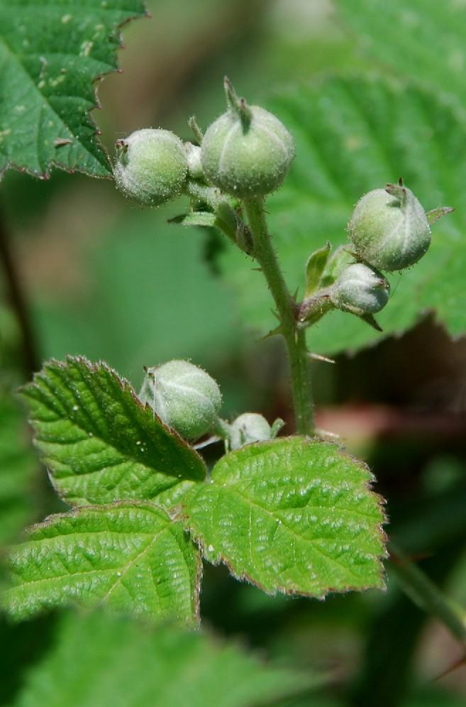 Rubus caesius 12