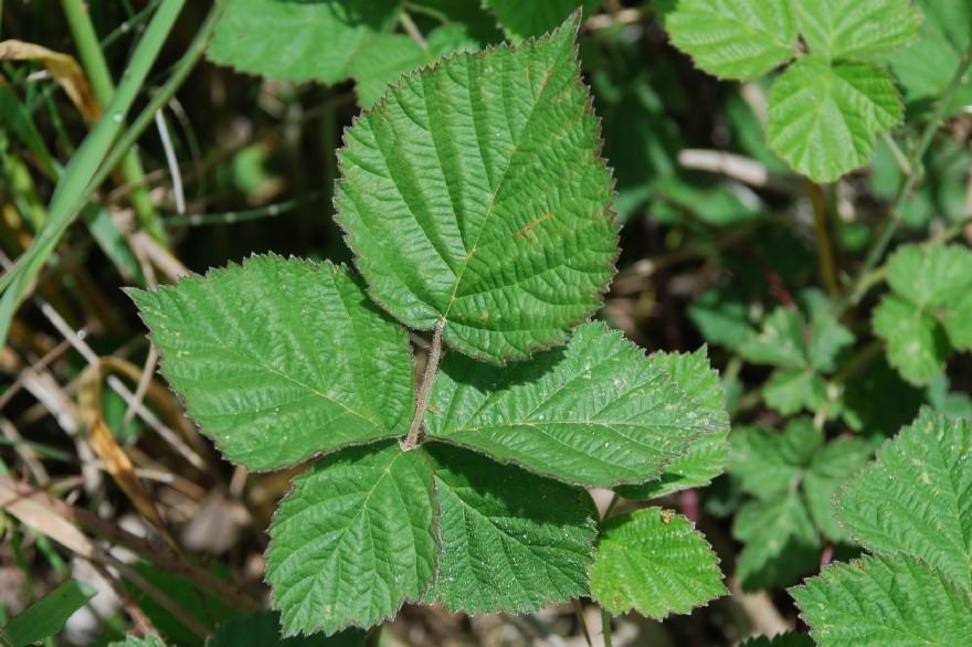 Rubus caesius 13