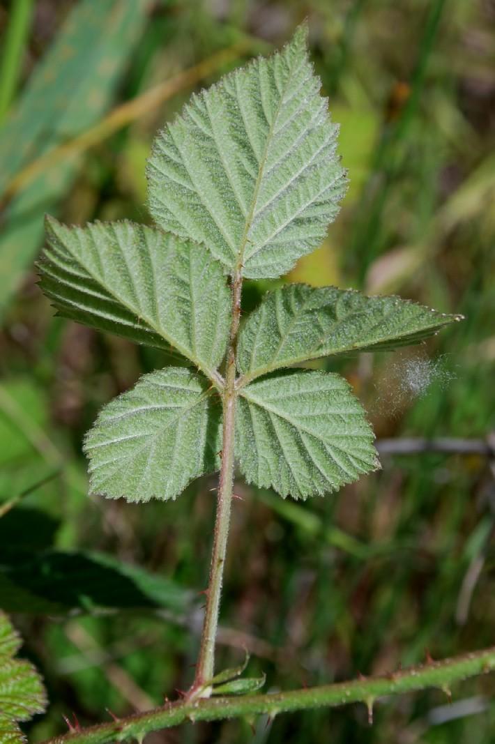 Rubus caesius 14