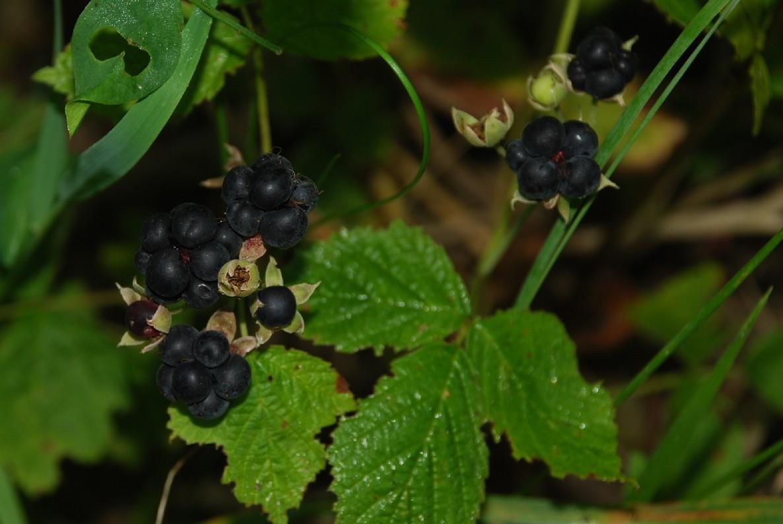 Rubus caesius 15