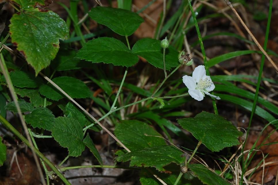 Rubus caesius 17