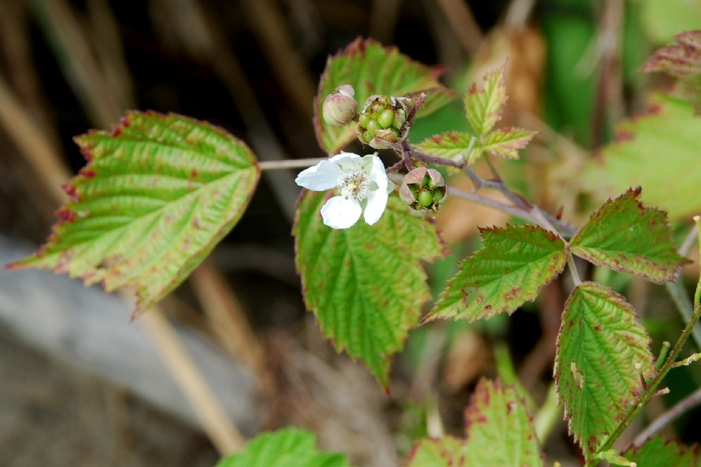 Rubus caesius 18
