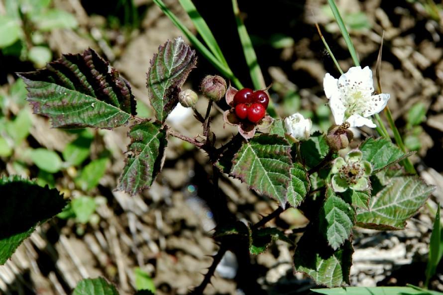 Rubus caesius 20