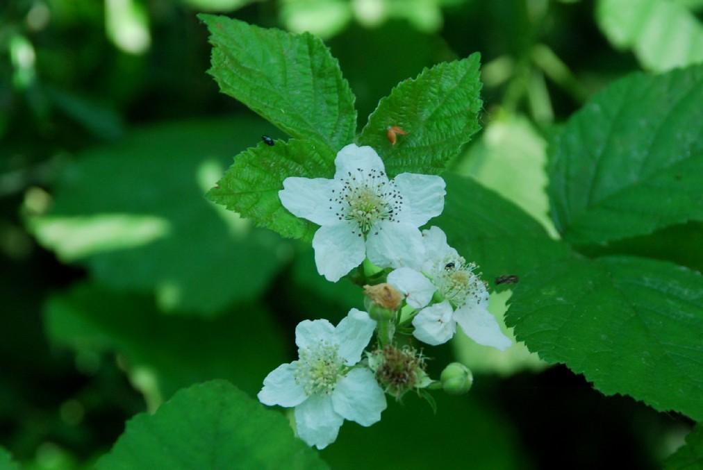 Rubus caesius 22