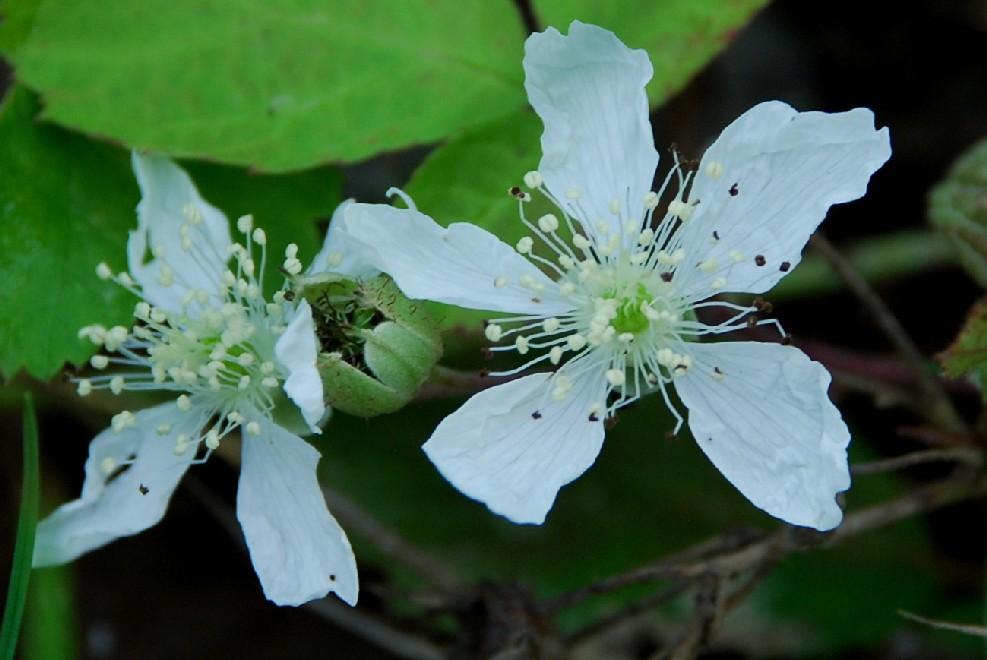 Rubus caesius 4